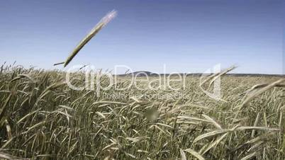 In grain field