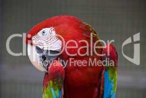 Red Parrot, Kuala Lumpur, 2009
