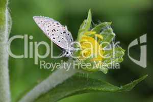 Moth On Flower Bud