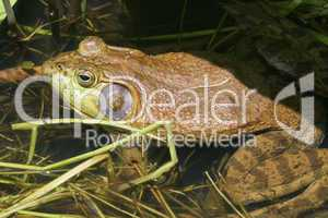 Green Bull Frog With Mosquito On Nose