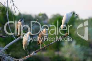 Snowy Egrets and Black Crowned Night Herons