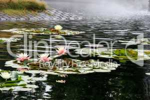 Pink Water Lilies In Pond With Mist