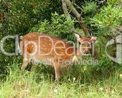Sitka Deer On Assateague Island