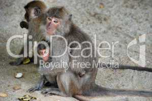 Group of Monkeys, Changmai, Thailand, August 2007