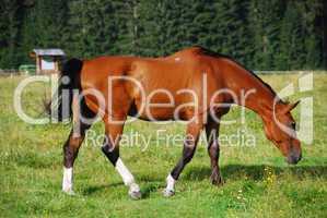Horse, Val Visdende, Italy, July 2007