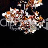 Zweig mit blühenden Kirschblüten