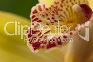 Orchidea flower