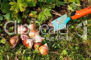 Blumenzwiebeln, bulbs