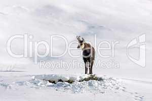 Gamsbock im Schnee in freier Wildbahn