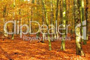 Buchenwald im Herbst - beech forest in fall 03