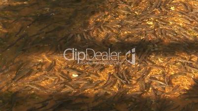 Outdoor grey mullet fish farm 3