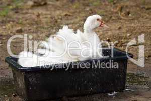 badende Hausente, bathing canard