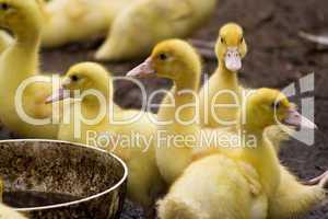 Entenküken, ducklings