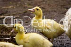 Küken, ducklings