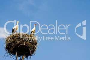 Störche im Nest, storks in a nest