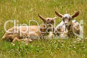 junge Ziegen, young goats