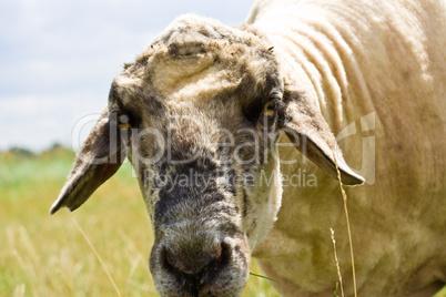 Schaf, sheep