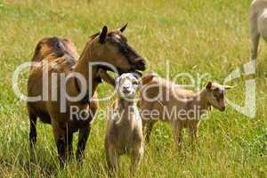 Ziegen, goats
