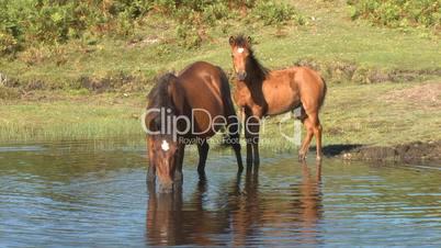 Wild horses in pond