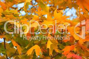 Congestion of autumn maple leaves