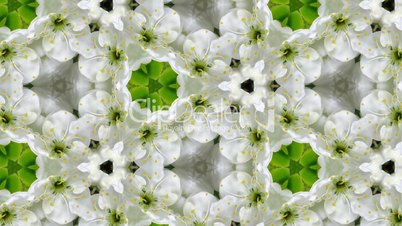 Organic kaleidoscope from blooming plum blossoms 10a