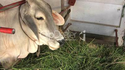 Asian Cow Eating In Stable