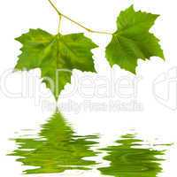 Grüne Blätter im Frühling
