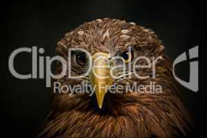 Portraitaufnahme eines Adlers