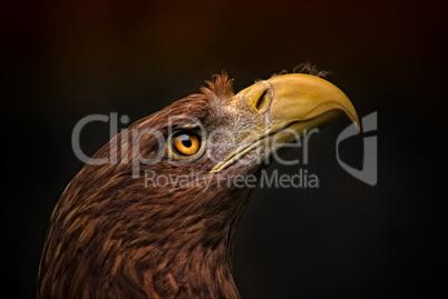 Seitenansicht eines Adlers