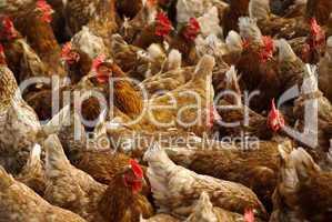 Jede Menge Hühner in einer Gruppe