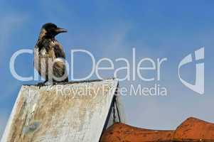 Eine stattliche Krähe sitzt auf dem Dachsims und schaut interessiert
