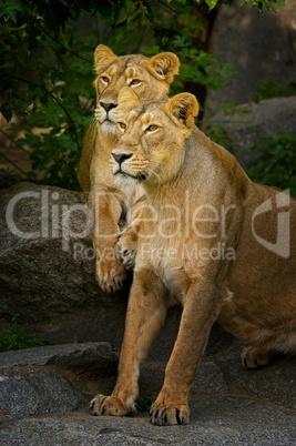 Zwei Löwinnen sitzen aufmerksam nebeneinander und beobachten