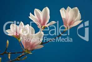 Magnolienblüte involler Pracht vor blauem Himmel