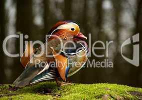 Eine farbenfrohe Mandarinente sitz auf feuchtem Moos