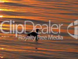 Möwe im Abendsonnenlicht auf dem Wasser schwimmend