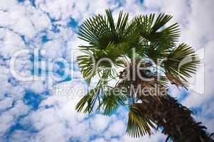 Tropische Palme unter blauen Himmel mit Schäfchenwolken