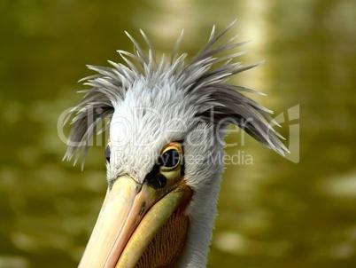 Pelikan Portrait mit schicker Frisur und grünem Blumenbeet im Hintergrund