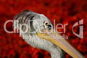 Pelikanportrait vor einem roten Blumenbeet im Hintergrund