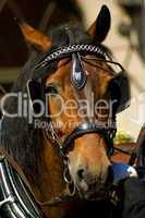 Pferd mit Zaumzeug und Scheuklappen in der Kutsche eingespannt