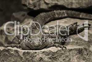 Agame auf einem Felsen in der Aug in Aug Perspektive in Sepia