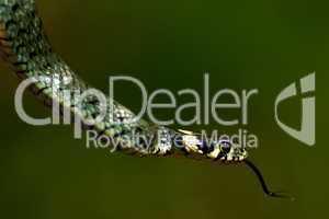 Ringelnatter züngelnd vor blattgrünem Hintergrund