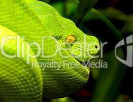 Nahaufnahme eines giftgrünen Baumpython mit gelben Augen