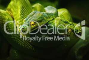 Nahaufnahme zweier giftgrünen Baumpythons mit gelben Augen auf einem Ast