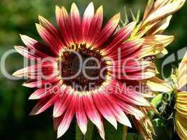 Nahaufnahme einer Sonnenblume mit auffallender Blattfärbung in rot und gelb