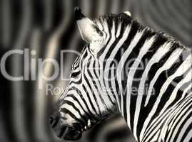 Detailaufnahme eines Zebrakopfes mit Zebrastreifen im Hintergrund