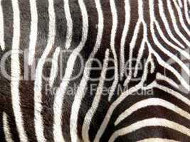 Detailaufnahme eines Zebras mit charakteristischer Fellzeichnung