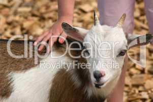 Kleine Ziege lässt sich vertrauenvoll von einer Kinderhand streicheln