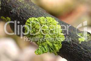 Parasitäre Pflanze