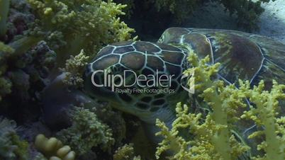 Baby sea turtle falling asleep -94