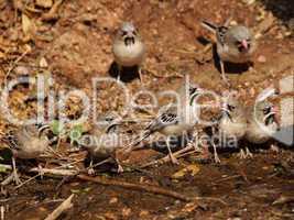 Schnurrbärtchen (Sporopipes squamifrons)